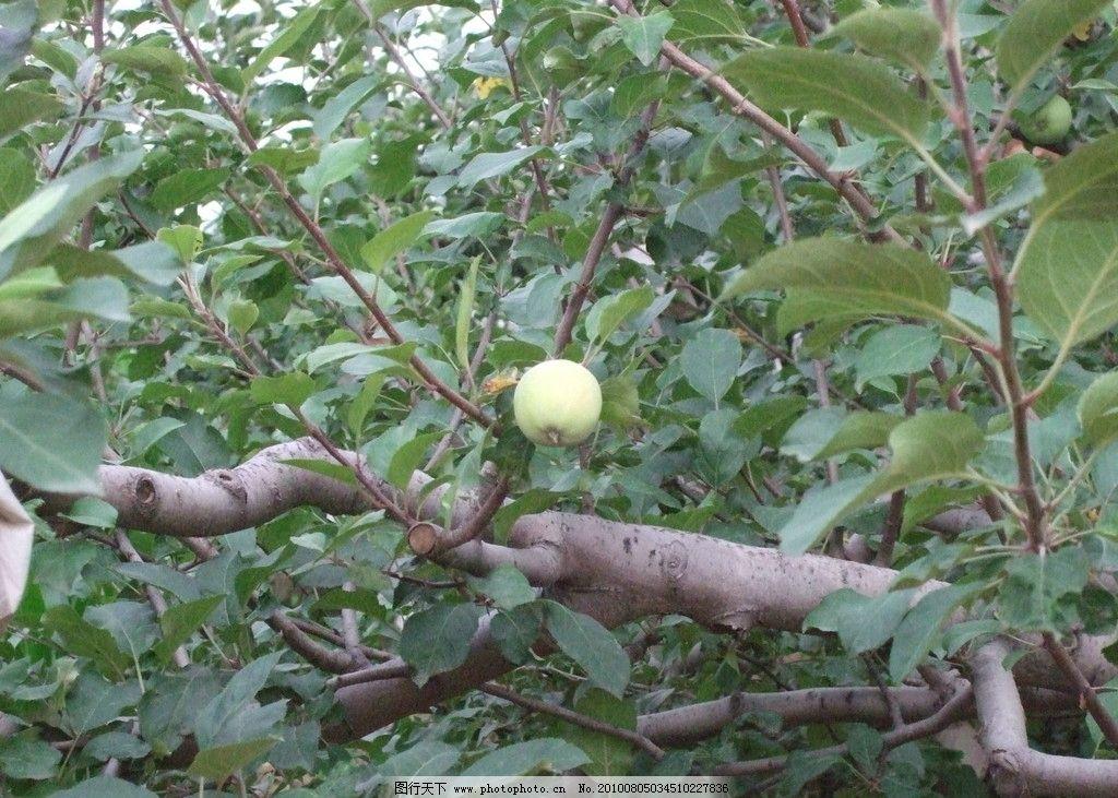 苹果树 苹果 果树 苹果园 田园风光 自然景观 摄影 72dpi jpg