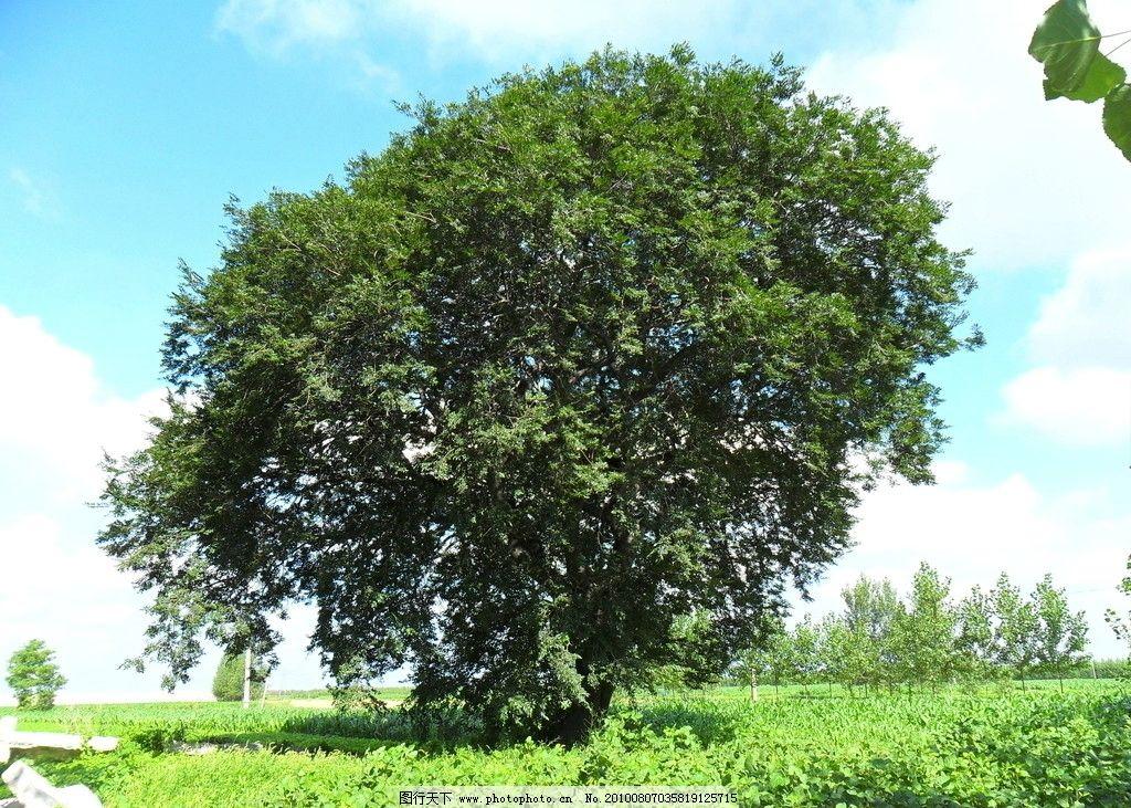 古树 草地 蓝天 白云 阳光 投影 小树 摄影