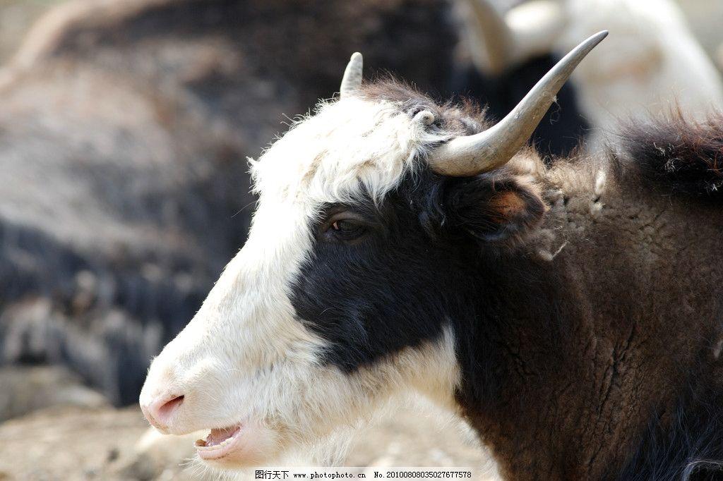 羊类野生动物图片