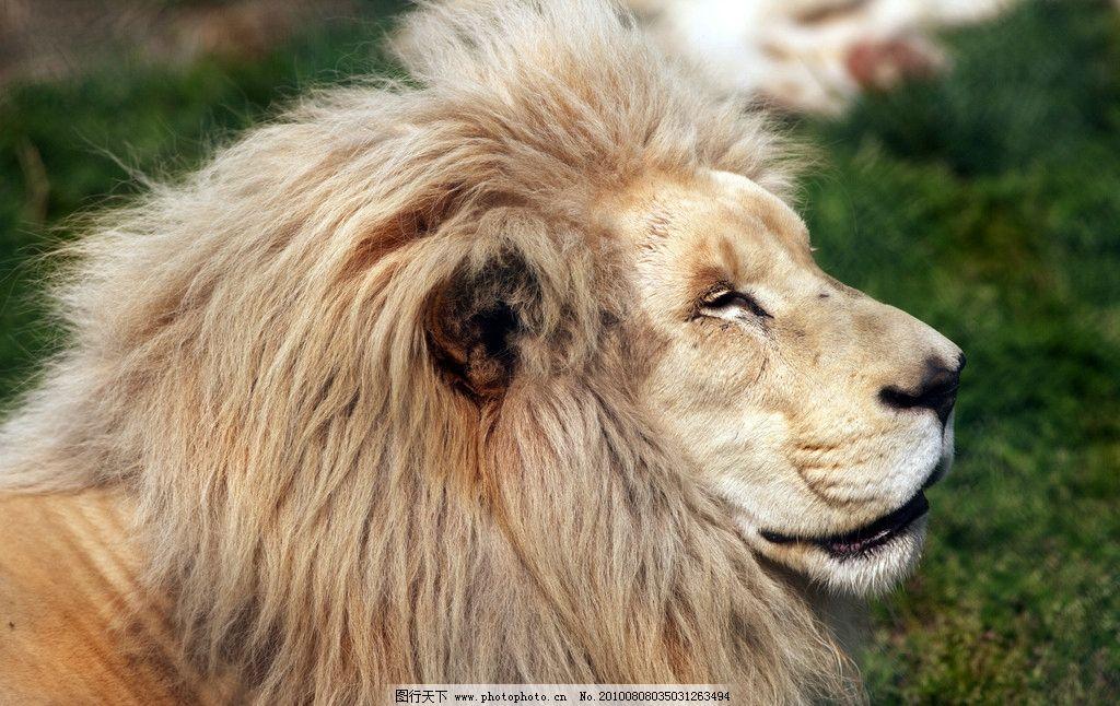 动物园的狮子 狮子 草地