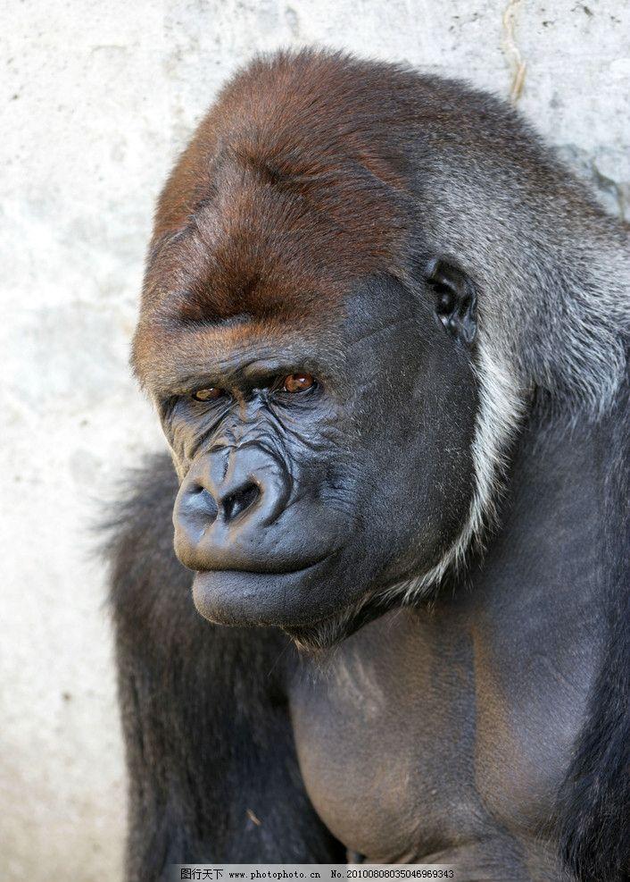 大猩猩 岩石 阳光 野生动物 生物世界 摄影