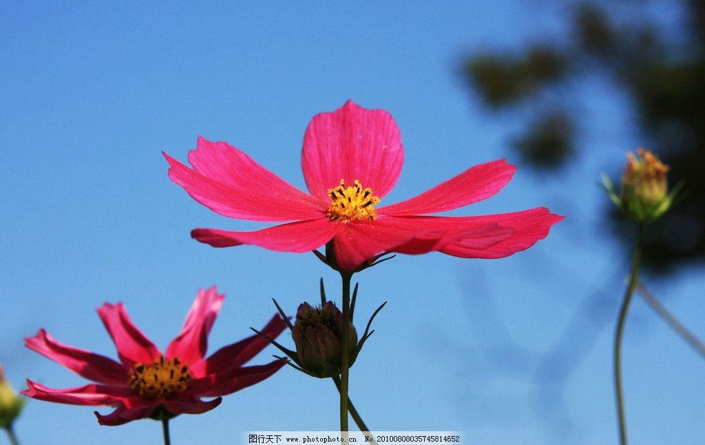 花草 树木 颜色 色彩 美丽 风景 粉色 可爱 天空 花骨朵 摄影
