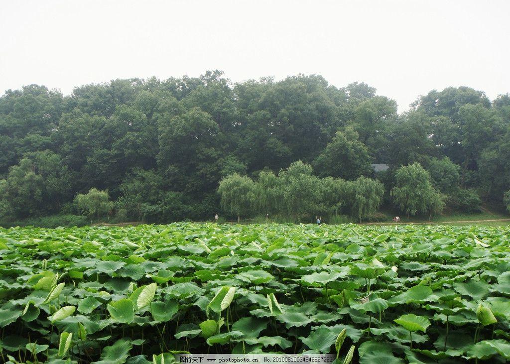 荷叶 绿色 小树 生物世界 摄影 荷塘 树木 自然风景 自然景观 72dpi