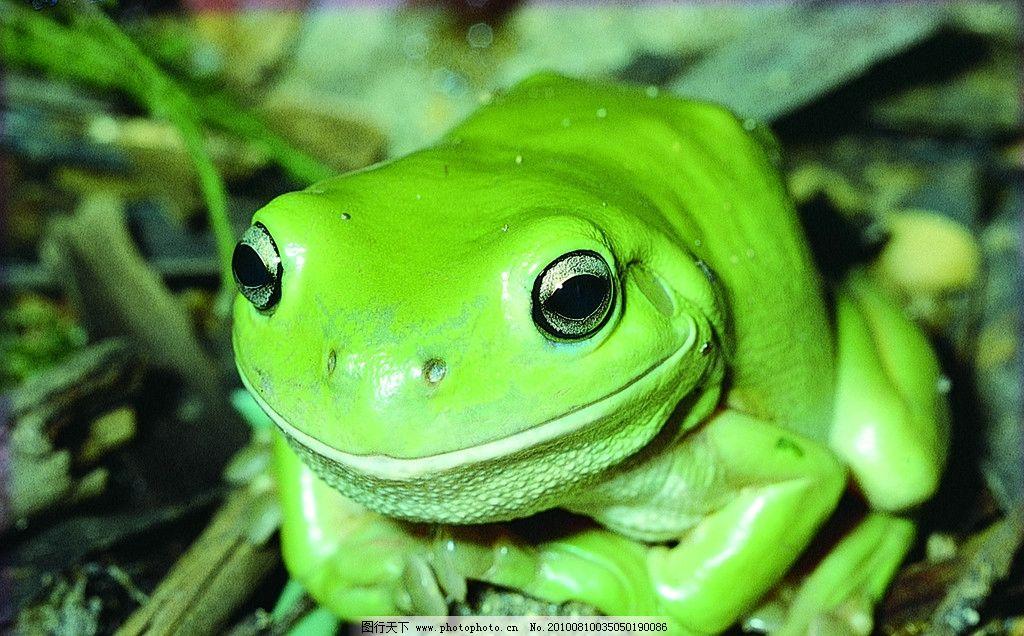原始森林中绿色雨蛙 青蛙 爬行动物 益虫 澳洲生物 野生动物 生物世界
