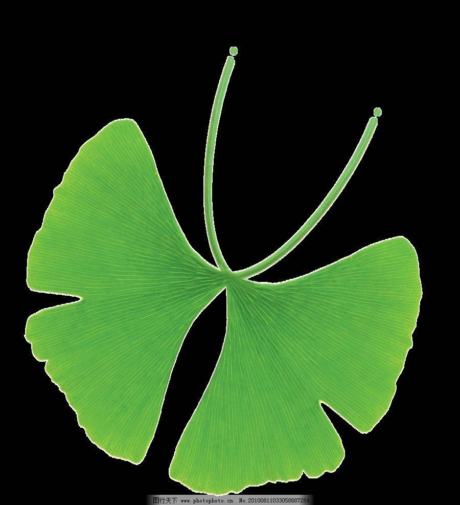 蝴蝶 银杏 树叶 叶子 植物 动物 绿色 分层 源文件
