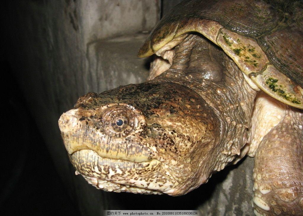 小鳄鱼龟 爬行动物 摄影