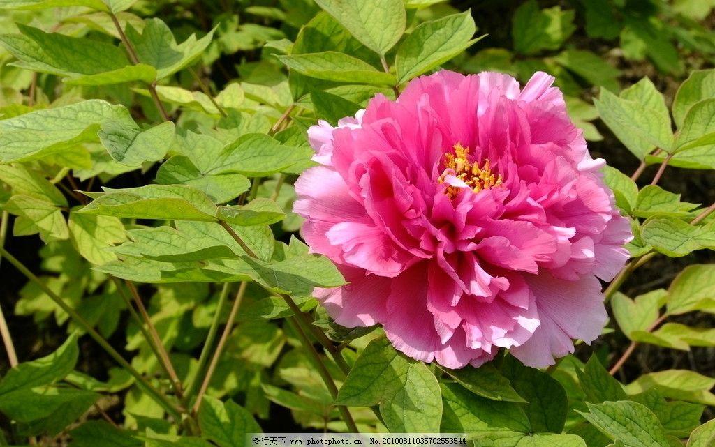 牡丹图片,鲜花 风景 花卉 植物 我的花卉风景 摄影-图