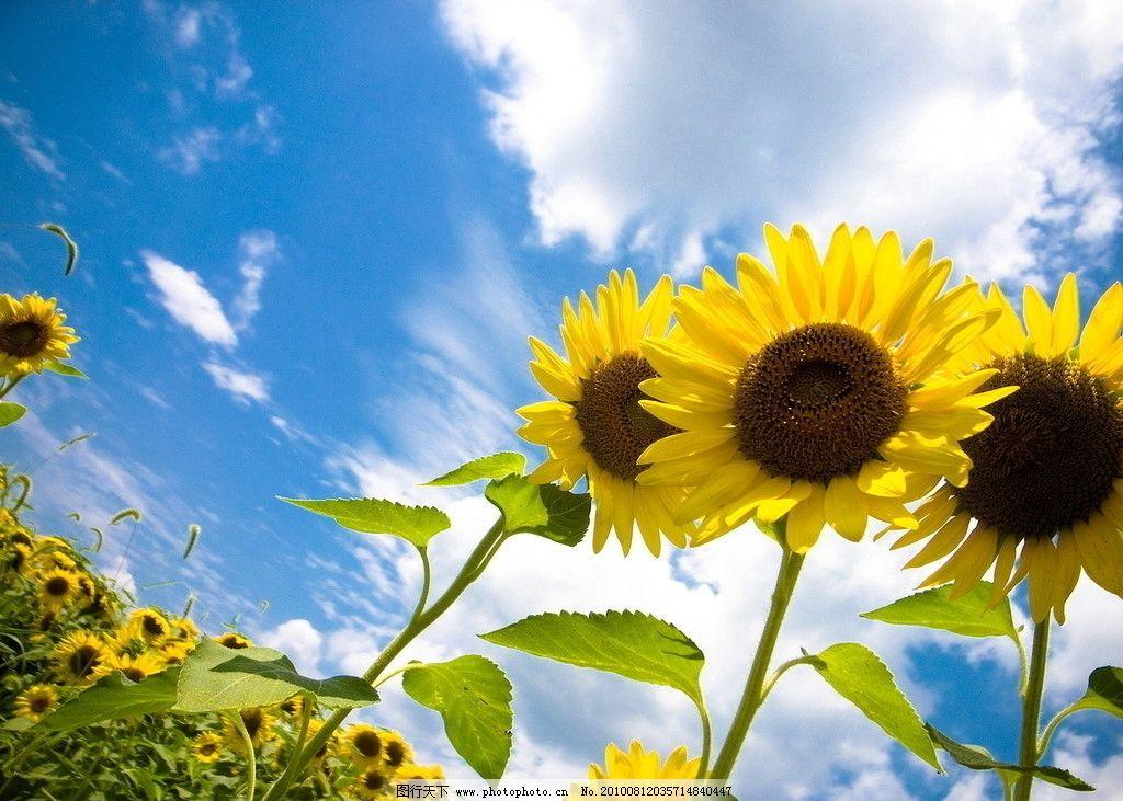 向日葵 黄色 鲜花 向阳花 阳光 绿色 植物 葵花籽 花瓣 美丽 壁纸