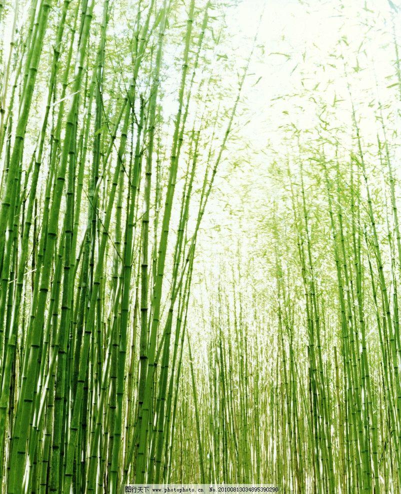 安吉竹子(绿竹) 竹子 绿色竹子 安吉竹 竹海 竹林 竹园 自然风景 自然