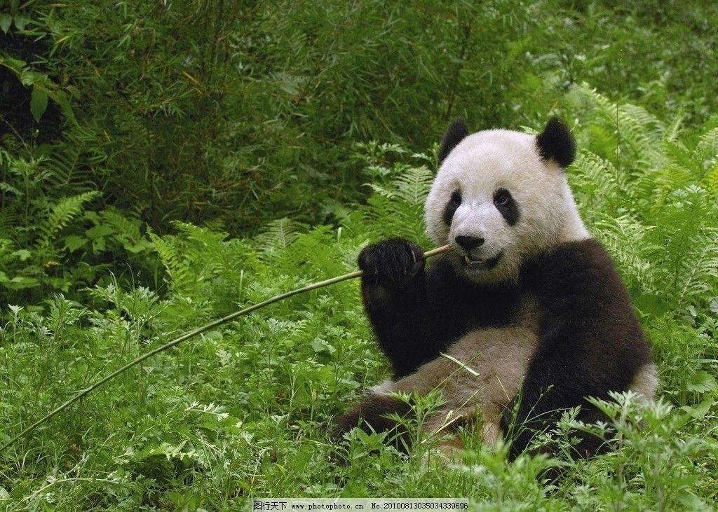 大熊猫 植被 中国 四川 竹子 团团圆圆 野生动物 动物园 绿色 国宝