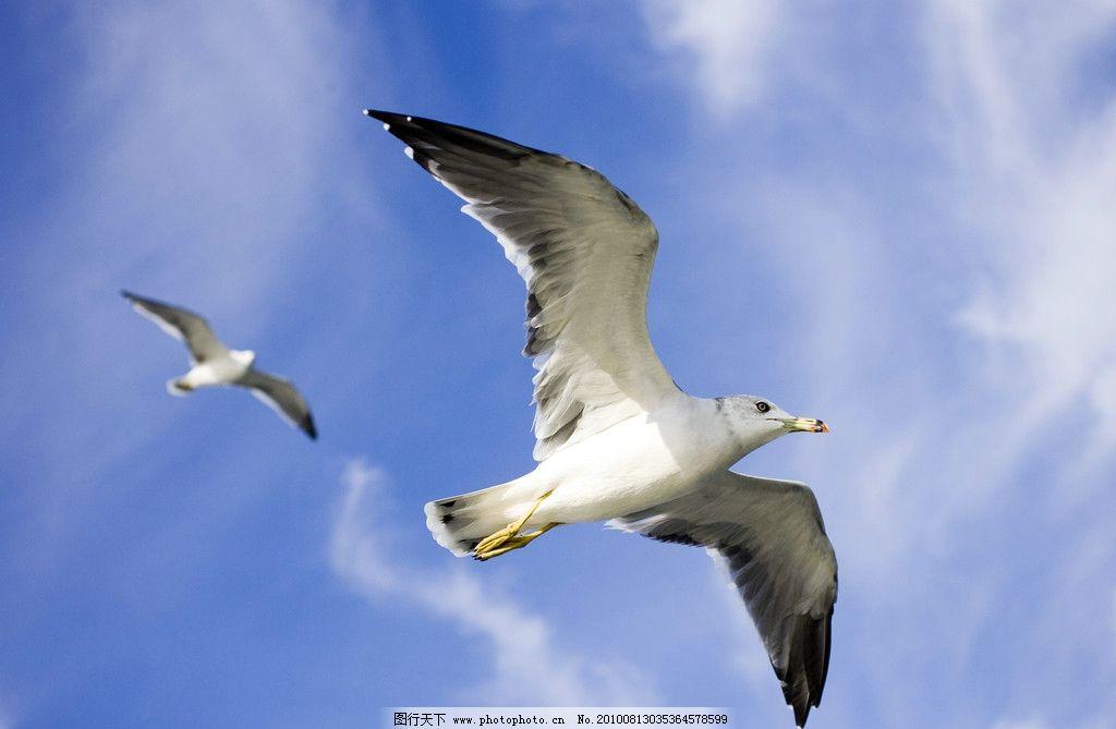 飞翔的海鸥 蓝天白云和阳光 摄影