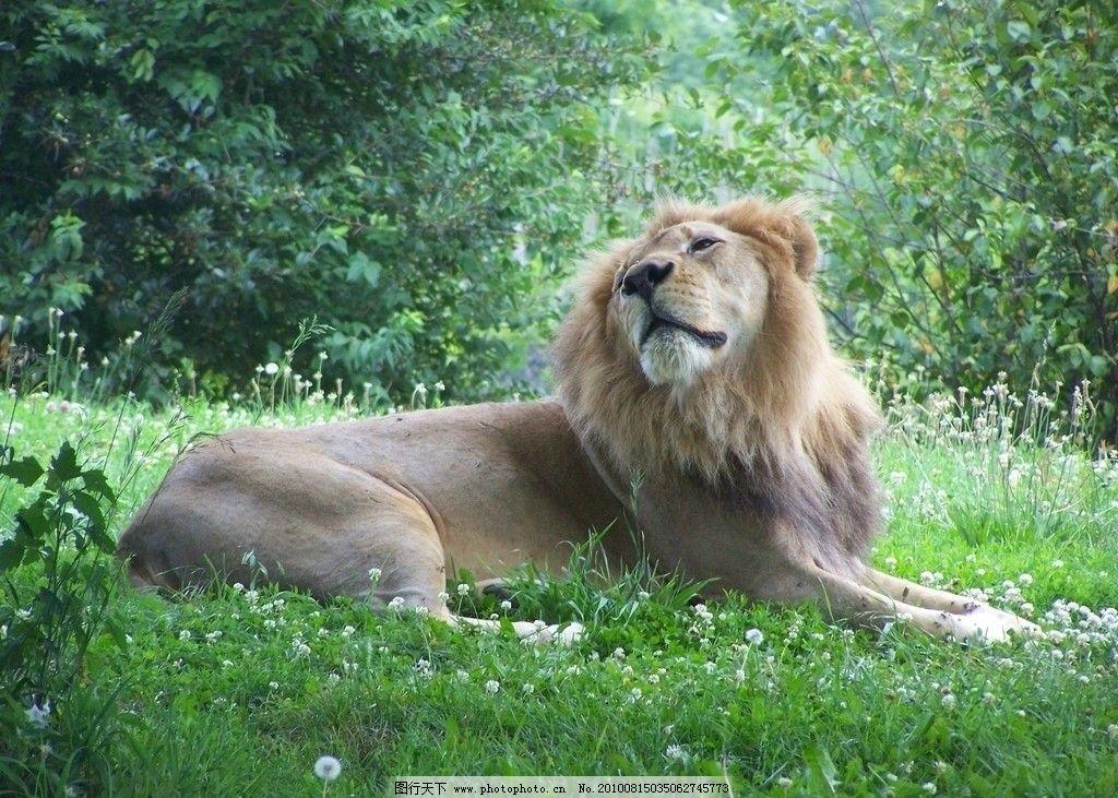 草地上的狮子 动物图片素材 陆地动物 哺乳动物 兽类 摄影图片