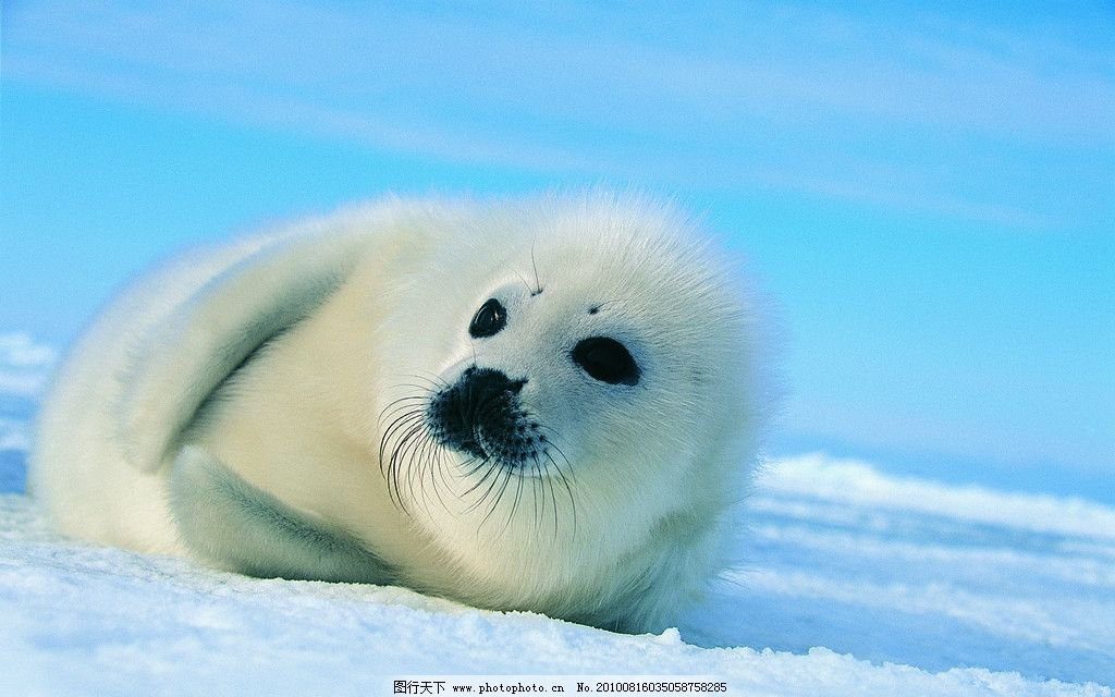海狮 雪地 野生动物 生物世界 摄影 304dpi jpg