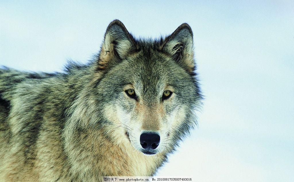 野狼 雪地 野生动物 生物世界 摄影 304dpi jpg