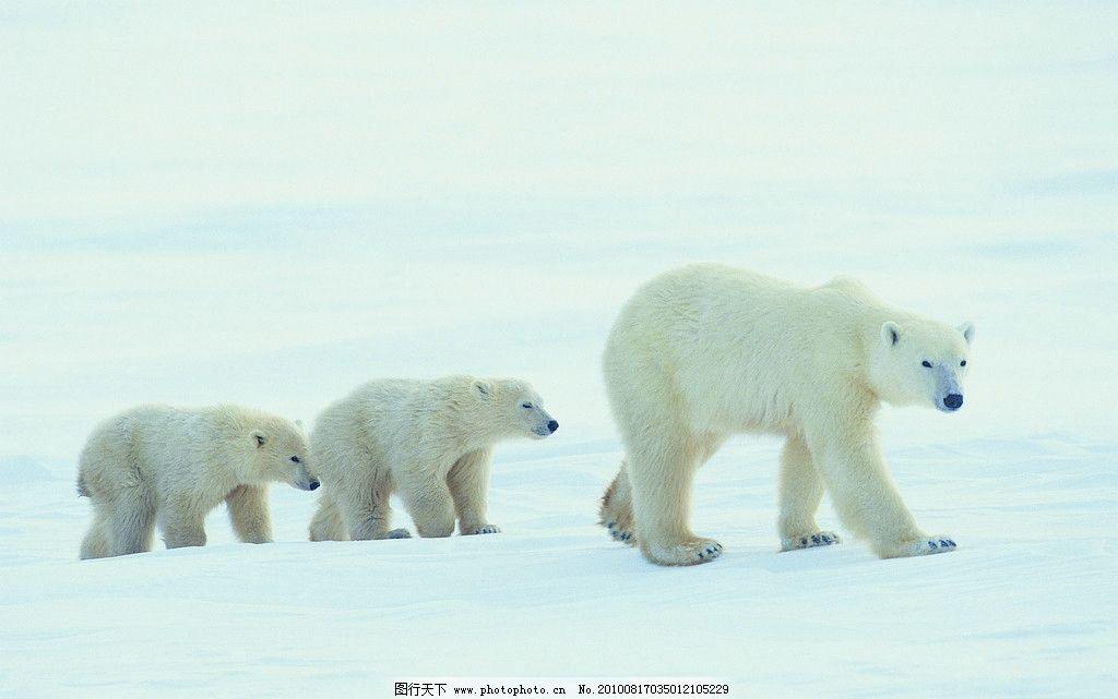 北极熊 野生动物 生物世界 摄影 304dpi jpg