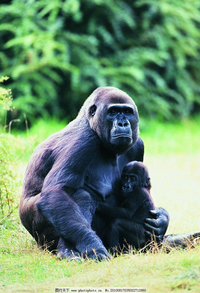 猩猩 野生动物 生物世界 摄影 304dpi jpg