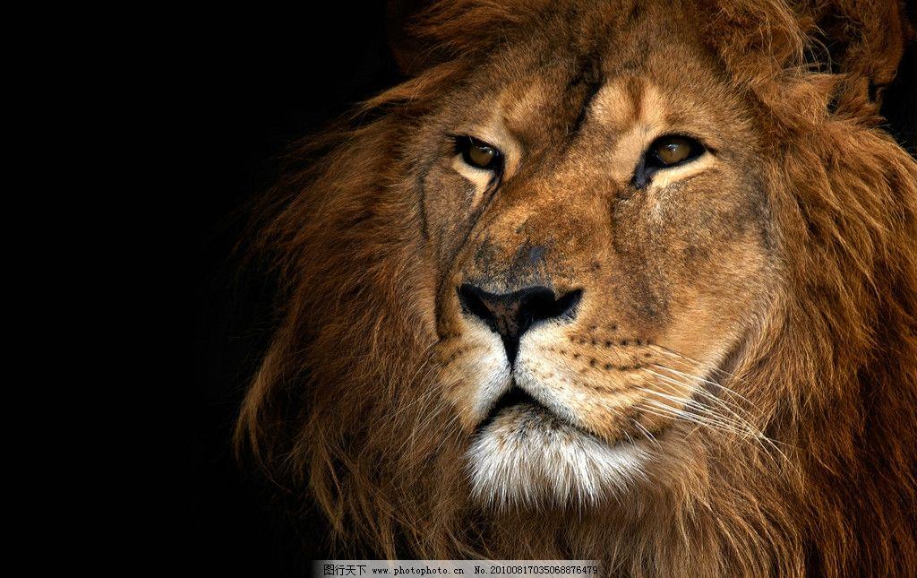 狮子高清图片_野生动物_生物世界_图行天下图库