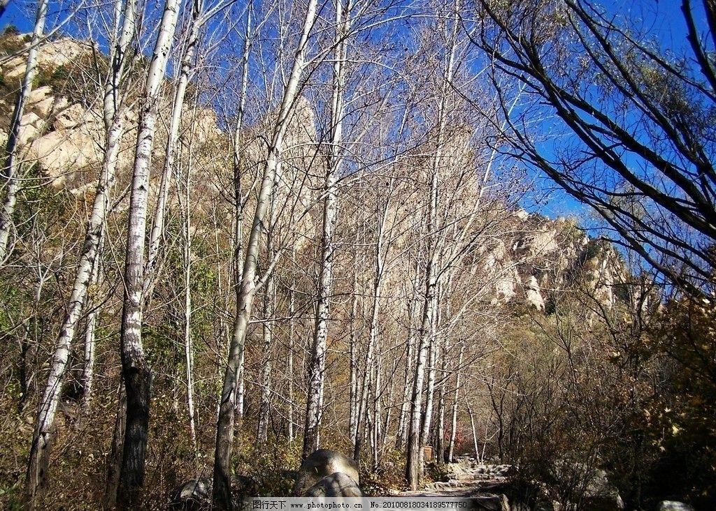 云蒙山白桦林 摄影 国家森林公园 小黄山 北京风光 云梦山 京郊风景
