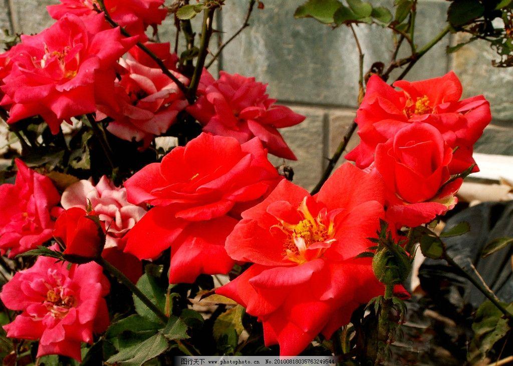 红玫瑰 绿叶 花香 花语 竞放 盛开 观赏 芬芳 鲜艳 玫瑰花图片 花草