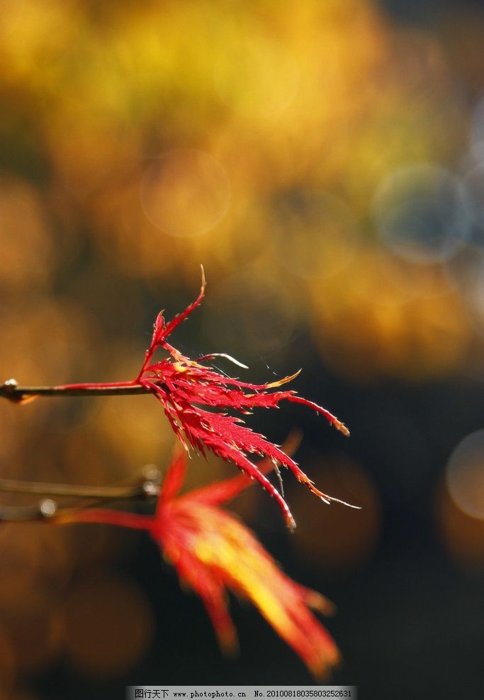 秋叶 红叶 秋色 秋天 秋天景色 树木 树枝 自然 风光 自然风光 特写