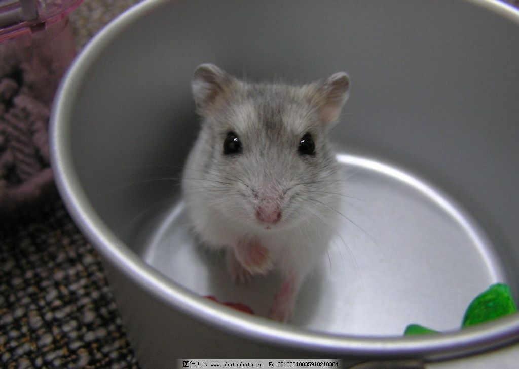 可爱小仓鼠图片