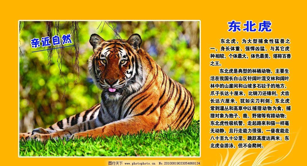 东北虎 稀有动物 保护动物 爱护动物 东北虎介绍 东北虎图片 野生