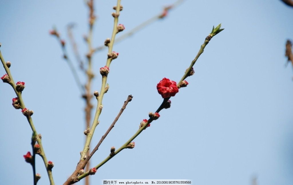 桃树图片 卡通图片