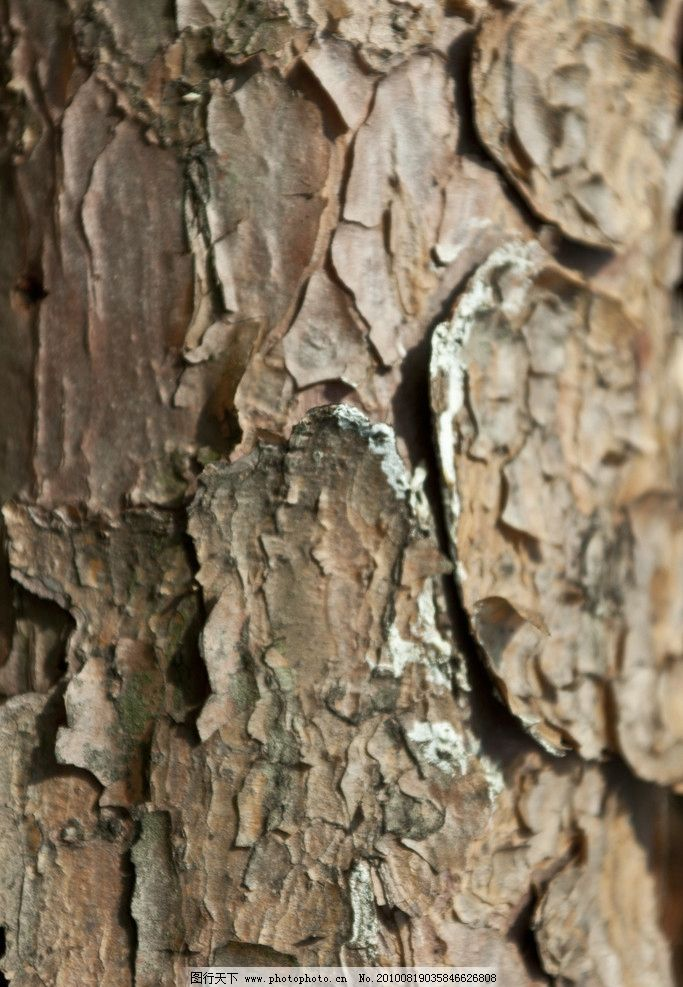 松树的纹理 松树 树皮 纹理 龟裂 时间 沧桑 树干 树木 树木树叶 生物