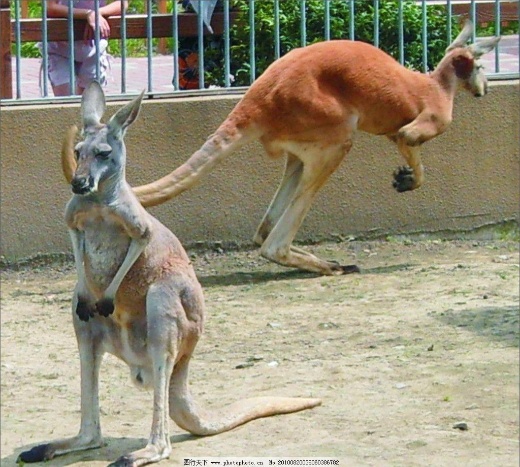 袋鼠 苏州动物园 野生动物 生物世界 摄影 150dpi jpg