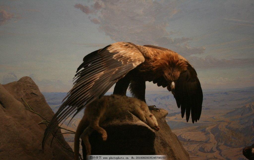 猎食的老鹰 动物图片素材 陆地动物 禽鸟动物 鸟类图片 鹰 老鹰 猛禽
