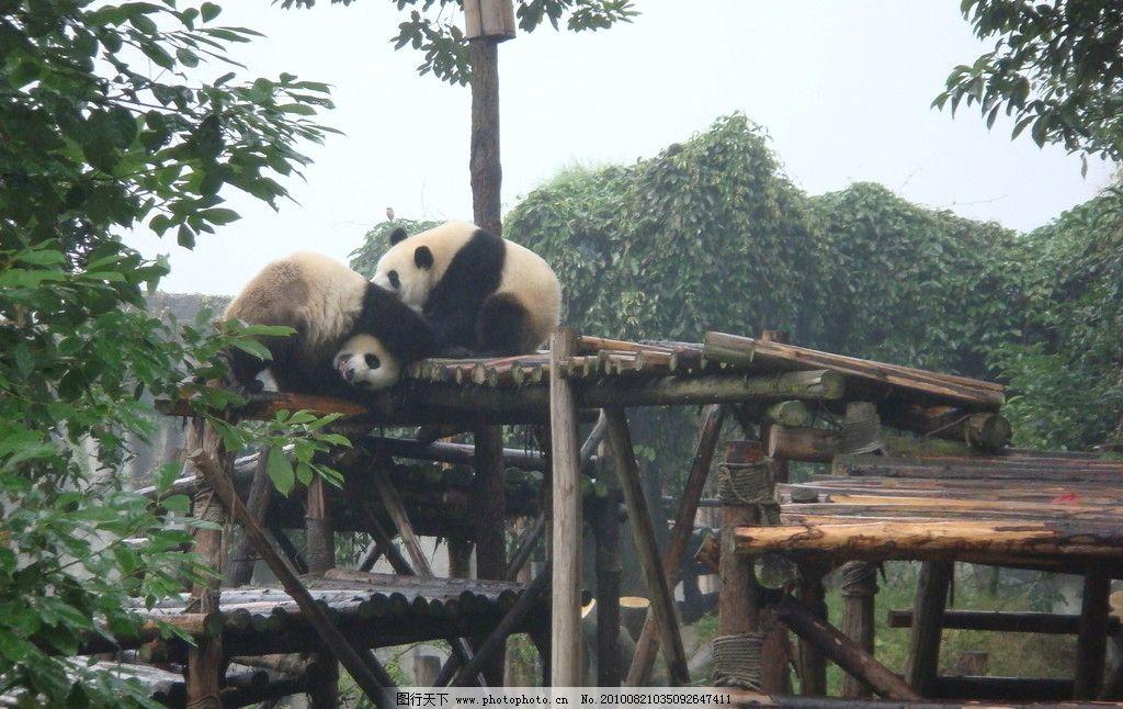 熊猫调情图片,国宝 大熊猫 两只熊猫 可爱的熊猫 保护