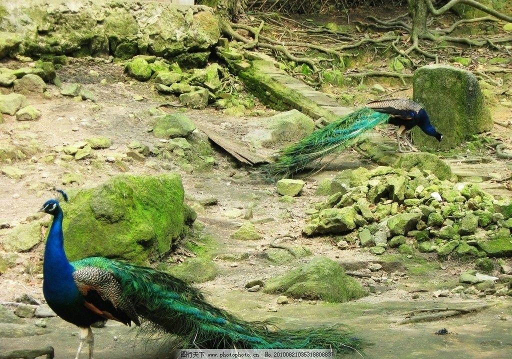 孔雀 羽毛 绿色的羽毛 漂亮 鸟类 贺州森林公园 生物世界 摄影 180dpi