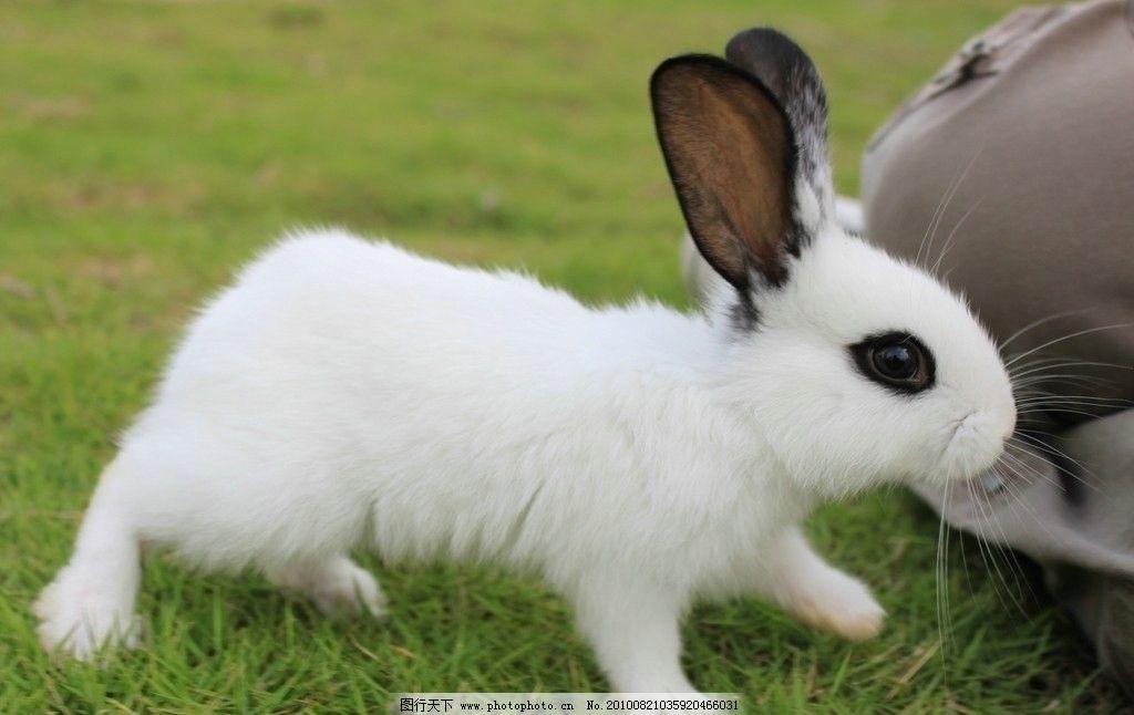 兔子 动物 生物 野生动物 宠物 家兔 白兔 熊猫兔 小兔子 喂养