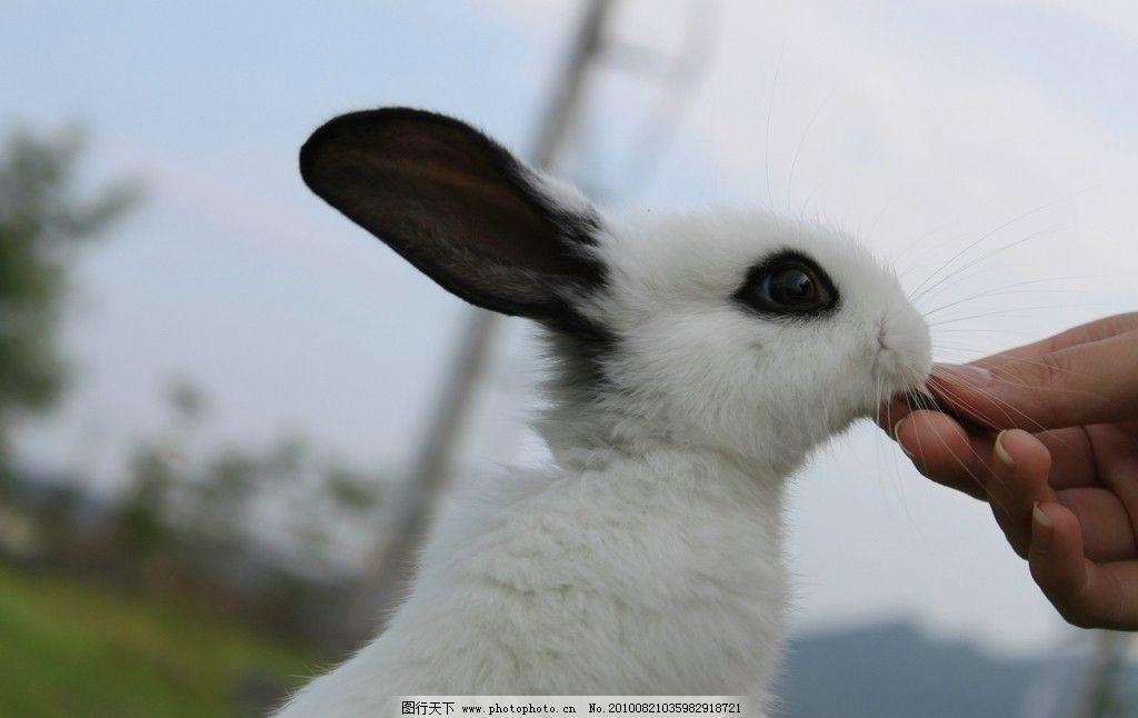 兔子 动物 生物 野生动物 宠物 家兔 白兔 熊猫兔 小兔子 喂养 草地