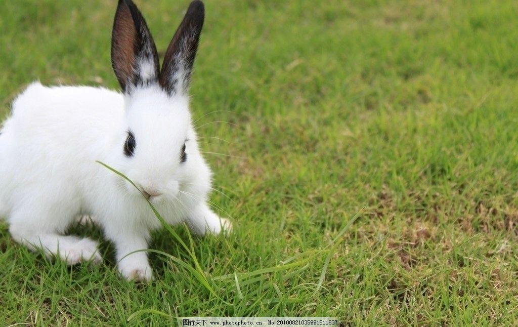 兔子 动物 生物 野生动物 摄影 宠物 家兔 白兔 熊猫兔 小兔子 喂养