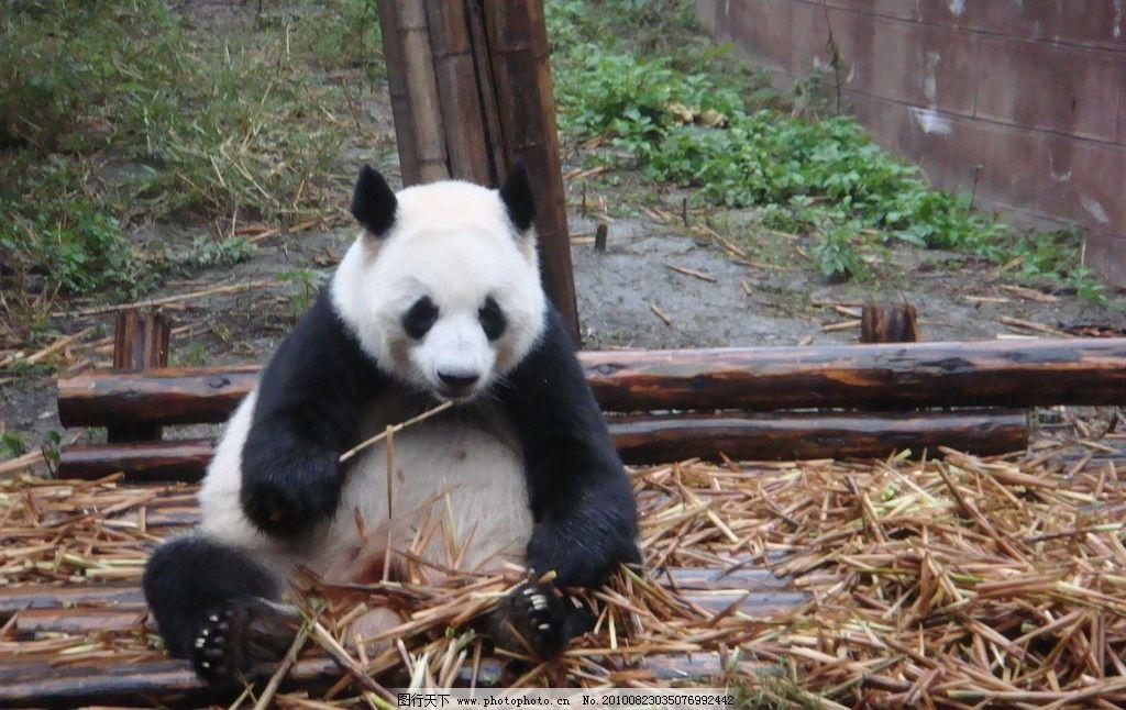 熊猫吃竹笋 国宝 大熊猫 竹笋 可爱 熊猫 保护动物 野生动物 生物世界