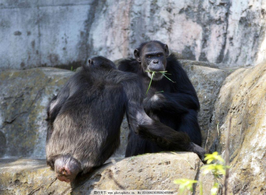 黑猩猩 吃青草的黑猩猩 岩石 青苔 黄色小花 阳光 猩猩 野生动物 生物