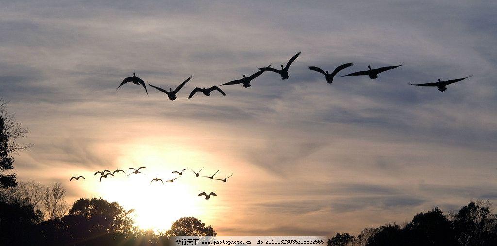 大雁图片,黄昏 美景 生物摄影 鸟类摄影 高清图片-图