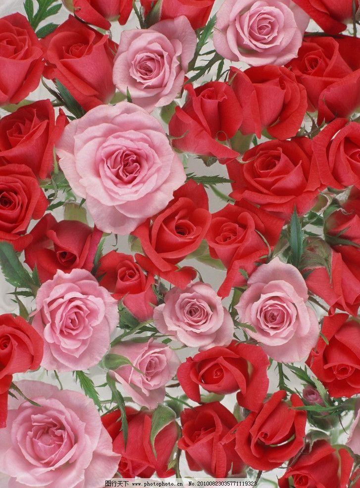 红玫瑰 鲜花 花卉 花朵 背景 红色 浪漫     玫瑰 玫瑰花 花草 生物