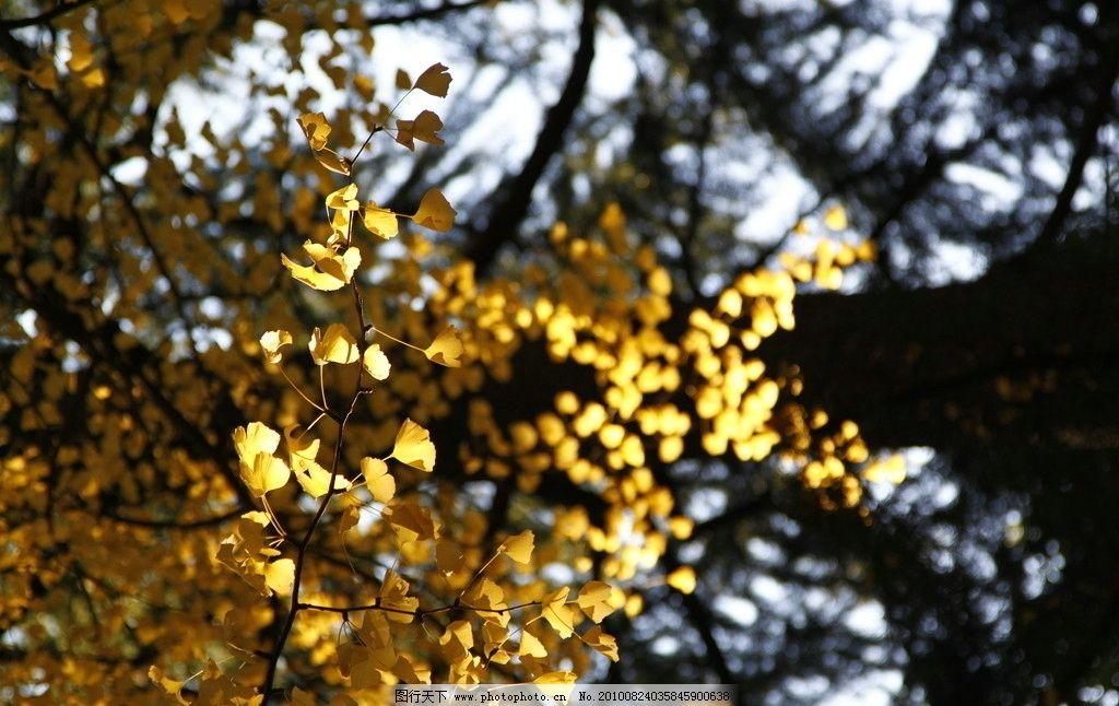 秋叶 秋色 秋天 秋天景色 树木 树枝 自然 风光 自然风光 特写 秋色底