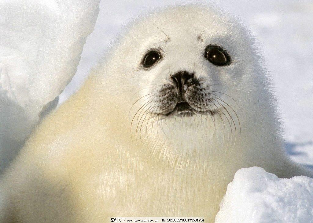海豹 桌面高清壁纸 北极