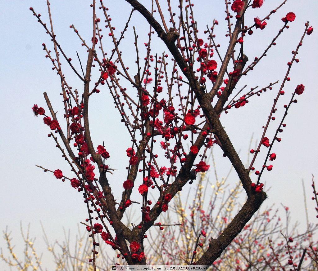 梅花 腊梅 红花 鲜花 梅花树 花枝 花海 花朵 盛开的鲜花 绽放的花朵
