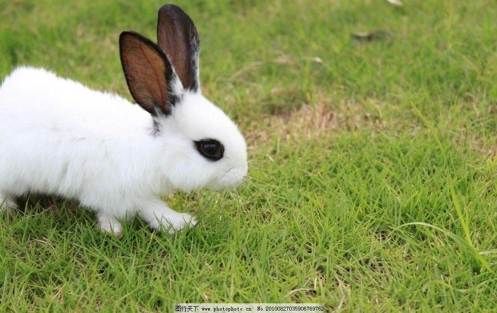 兔子 动物 生物 摄影 野生动物 宠物 小兔子 白兔 熊猫兔 草地