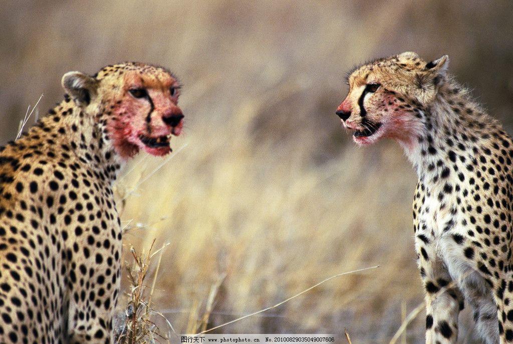 猎豹午餐后 猎豹 野生动物 猫科动物 豹纹 非洲草原 午餐 野生动物