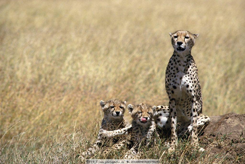 猎豹的一家 猎豹 野生动物