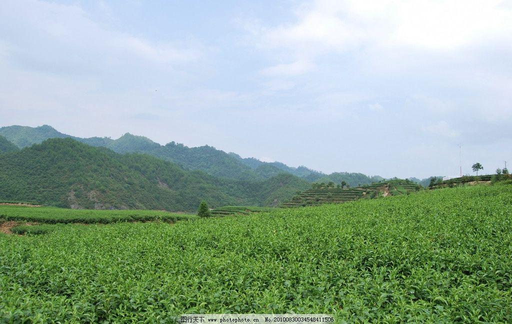 茶园 千岛湖 茶叶 茶叶良种场 茶场 茶 山顶茶园 绿意盎然 千岛湖中的