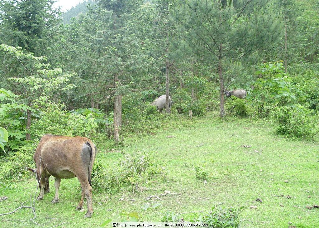 乡村风景 乡村 树林 草地 牛 野生动物 生物世界 摄影 72dpi jpg