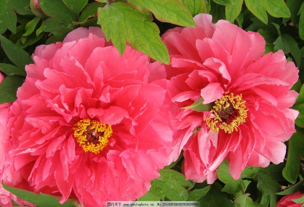 牡丹花 植物 花卉 花木 花朵 红牡丹 花枝 绿叶 花香 花语