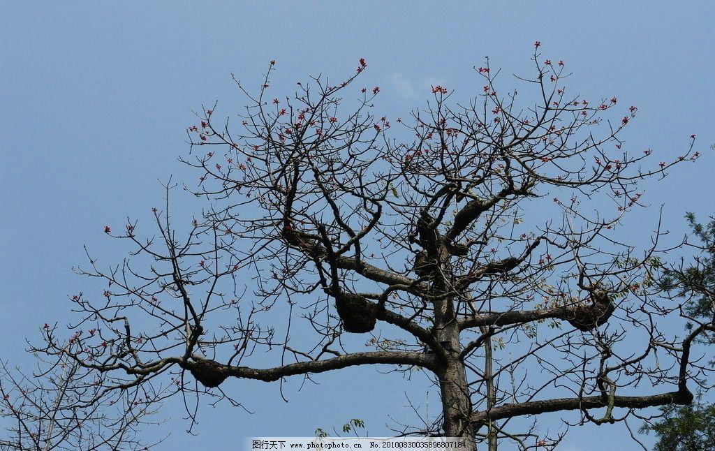 木棉树 木棉花 英雄花 南国木棉 树木树叶 生物世界 摄影 72dpi jpg