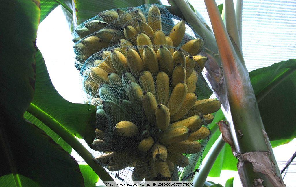 香蕉 香蕉树 叶子 jpg 香蕉园 北大荒 蔬菜水果 水果 生物世界 摄影